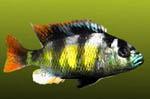 Haplochromis_sp_