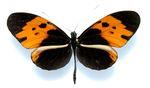 Heliconius_numata_bicoloratus