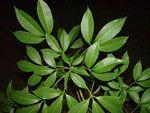 Hevea_brasiliensis_cultivar_BPM_24