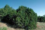 Juniperus_monosperma