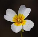 Leavenworthia_alabamica