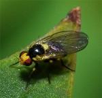 Liriomyza_trifolii