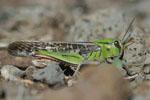 Locusta_migratoria