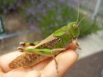 Locusta_migratoria_manilensis
