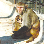 Macaca_mulatta_Indian_origin