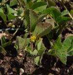 Medicago_truncatula_isolate_HM129