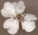 Microbotryum_violaceum_1247