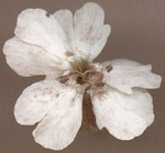Microbotryum_violaceum_1253