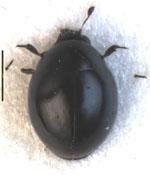Microsporus_sphaerius