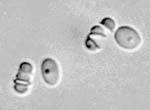 Millerozyma_farinosa_KCTC_27753