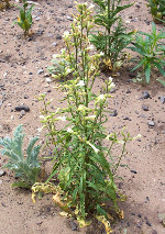 Nicotiana_attenuata_cultivar_Arizona