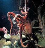 Octopus_dofleini