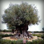Olea_europaea_subsp__europaea