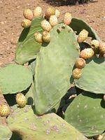 Opuntia_ficus_indica