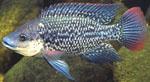 Oreochromis_mossambicus