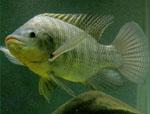 Oreochromis_niloticus_isolate_F11D_XX
