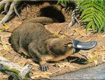 Ornithorhynchus_anatinus