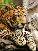 Panthera_pardus
