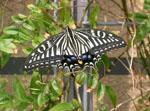 Papilio_xuthus
