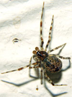 Parasteatoda_tepidariorum