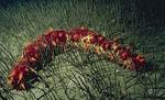 Parastichopus_californicus