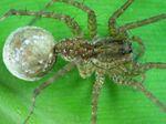 Pardosa_pseudoannulata