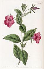 Petunia_integrifolia