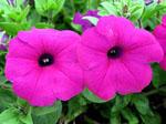 Petunia_integrifolia_subsp__inflata