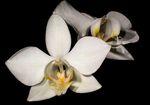 Phalaenopsis_aphrodite_subsp__formosana