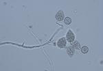 Phytophthora_megakarya_zdho120