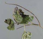 Phytophthora_ramorum_strain_EU1_CC2187