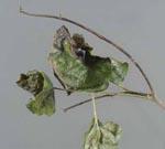 Phytophthora_ramorum_strain_EU2_SOD169_11