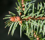 Picea_sitchensis