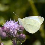 Pieris_rapae