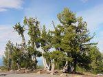 Pinus_albicaulis