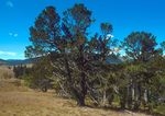 Pinus_flexilis