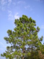 Pinus_massoniana