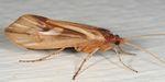 Platycentropus_radiatus