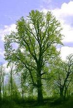 Populus_trichocarpa