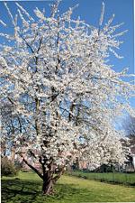 Prunus_avium