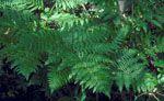 Pteridium_aquilinum_subsp__aquilinum