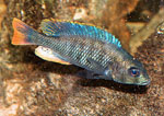 Ptyochromis_sp___redtail_sheller_
