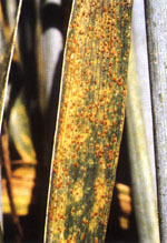 Puccinia_triticina_Race_77_isolate_77_A1