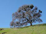 Quercus_lobata