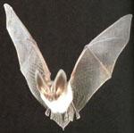 Rhinolophus_ferrumequinum