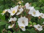 Rosa_multiflora