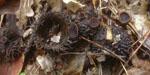 Rutstroemia_echinophila_CBS_111548