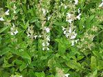 Salvia_miltiorrhiza
