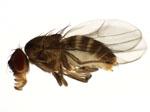 Scaptodrosophila_lebanonensis