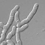 Schizosaccharomyces_japonicus_yFS275